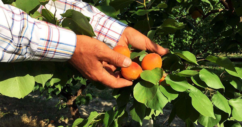 Ingrosso Ortofrutta Asta Frutta Altedo